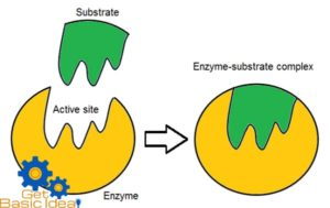 models of enzyme